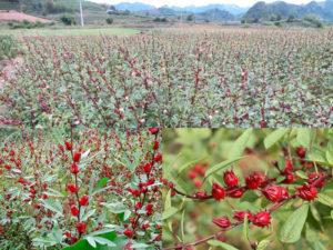 cây hoa bụp giấm, hoa atiso đỏ